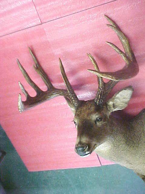 Massive Whitetail Deer Buck Head Mount Minnesota Antlers Huge Gorgeous